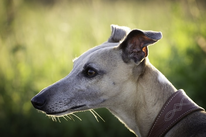 Секреты ставок на собачьи бега